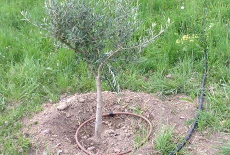 Une adhérente à planter des oliviers