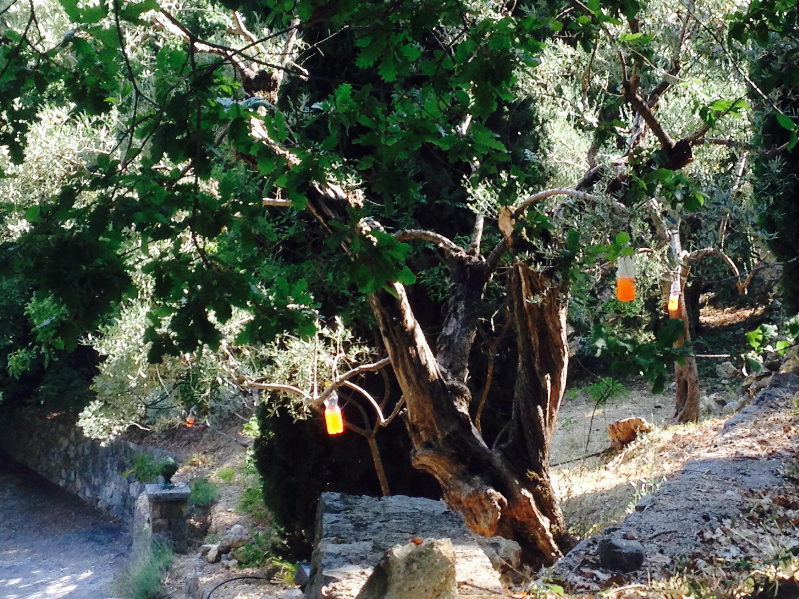 Des pièges à mouches sont accrochés dans les oliviers